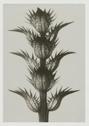 Blossfeldt kort med kuvert 12x17 cm - Acanthus Mollis