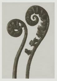Blossfeldt kort med kuvert 12x17 cm - Dryopteris Filix
