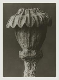 Blossfeldt kort med kuvert 8,5x11,5 cm - Papaver Orientale