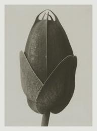 Blossfeldt kort med kuvert 8,5x11,5 cm - Cosmos Bipinnatus