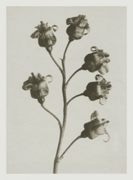 Blossfeldt kort med kuvert 8,5x11,5 cm - Ribes Nigrum