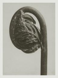 Blossfeldt kort med kuvert 8,5x11,5 cm - Osmunda Regalis
