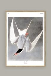 Great Tern Print 50x70 cm