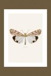 Utetheisa Pulchella 30x40cm