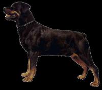 Dekal Rottweiler helkropp 14x16cm x 2