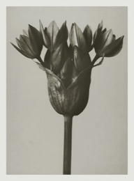 Blossfeldt kort med kuvert 8,5x11,5 cm - Allium Ostrowskianum