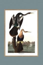 Black-bellied Darter 70x100cm