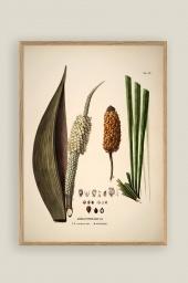 Diplothemium Print 50x70cm