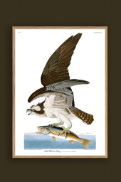 Fish Hawk or Osprey 50x70cm