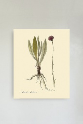 Lichenibus Michelianis