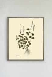 Salvia Bullata