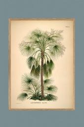 Livistona humilis 70x100cm