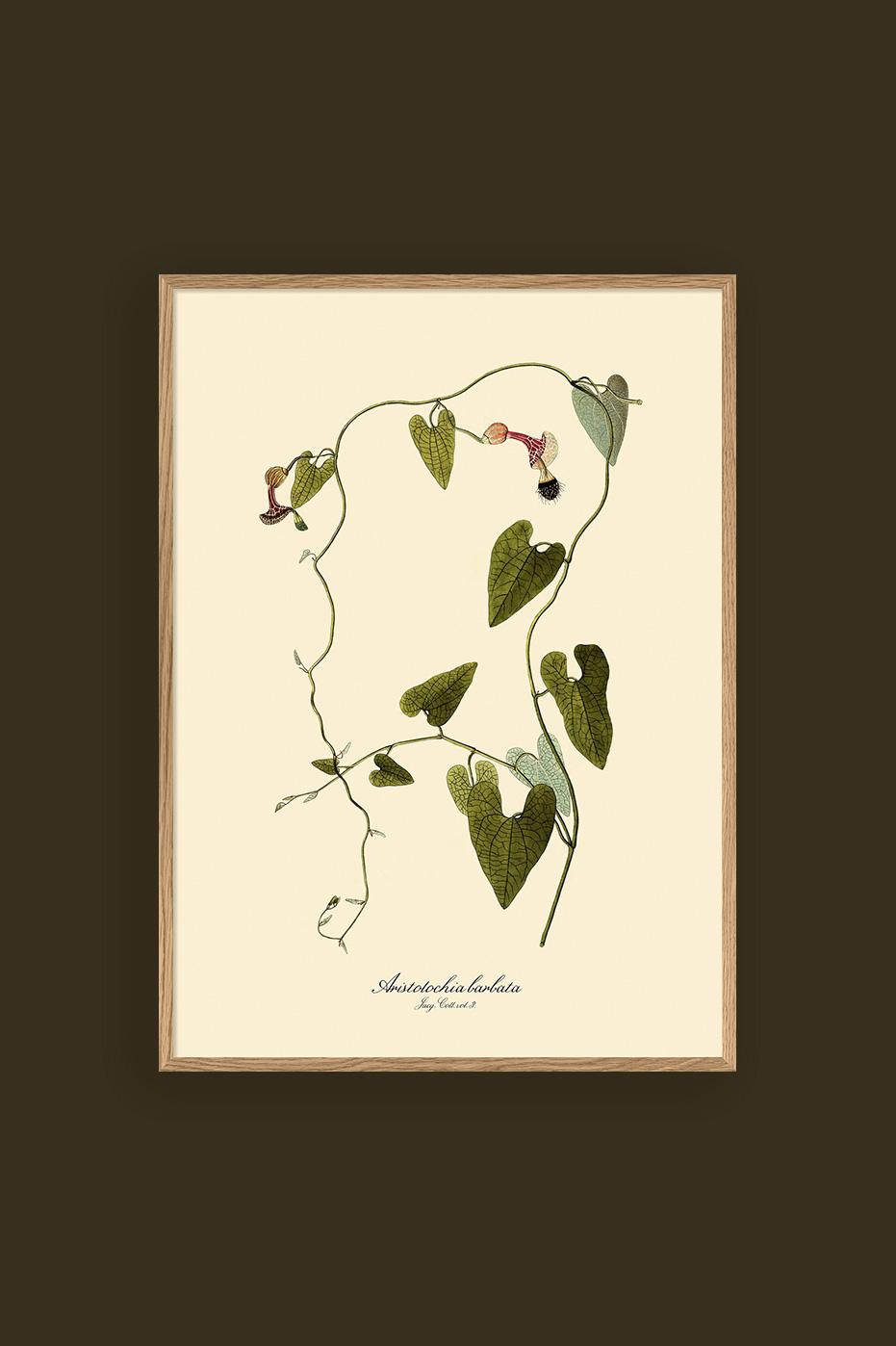 Aristolochia Babata 30x40cm