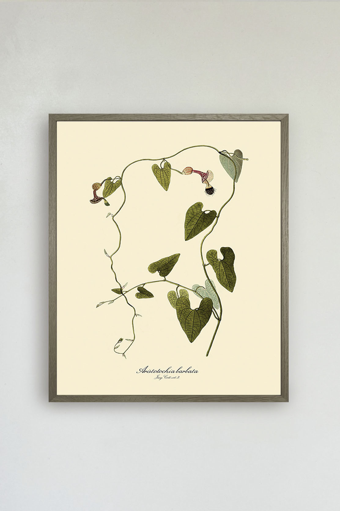 Aristolochia Babata