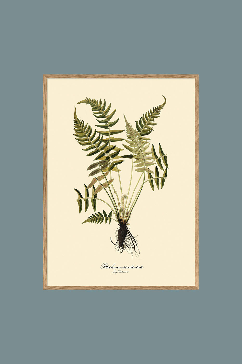 Blechnum Occidentale 30x40cm