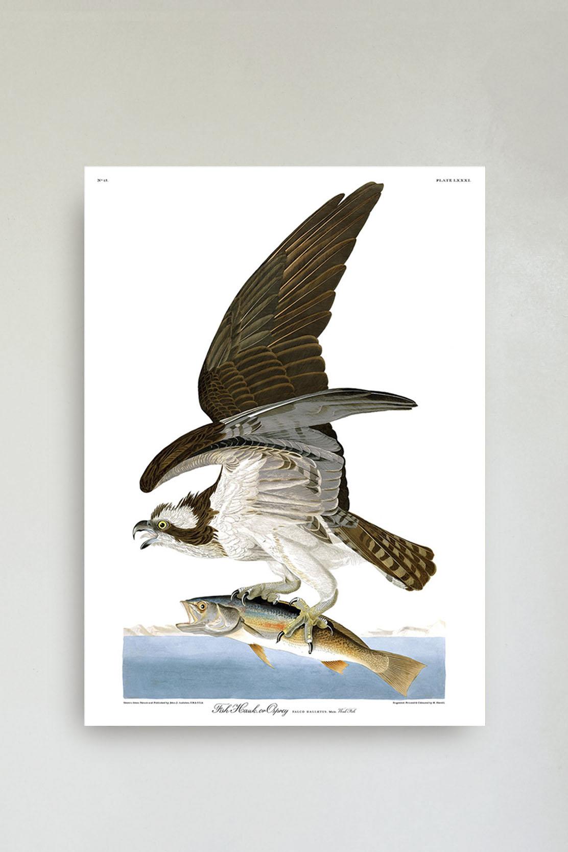 Fish Hawk