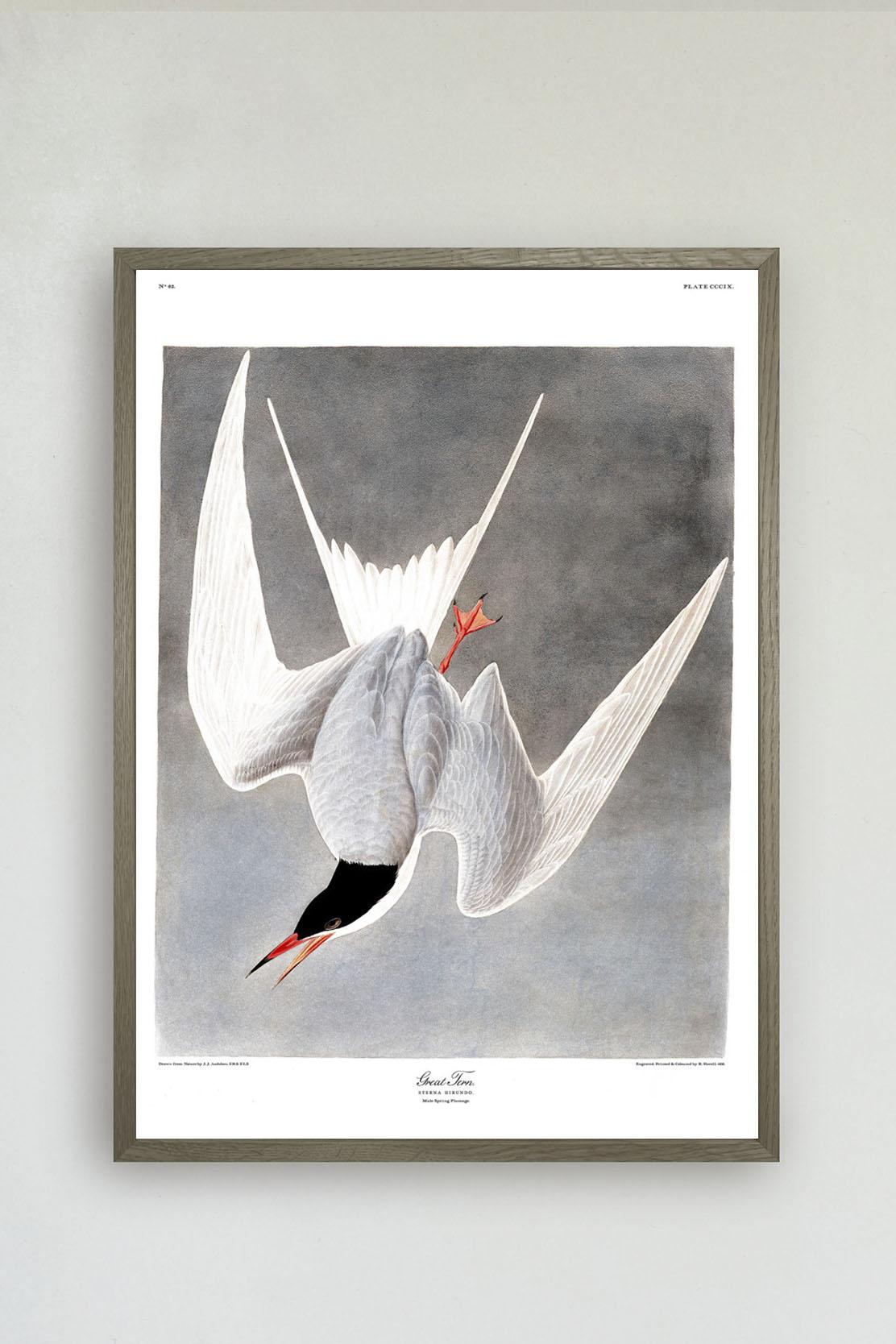 Great Tern Print