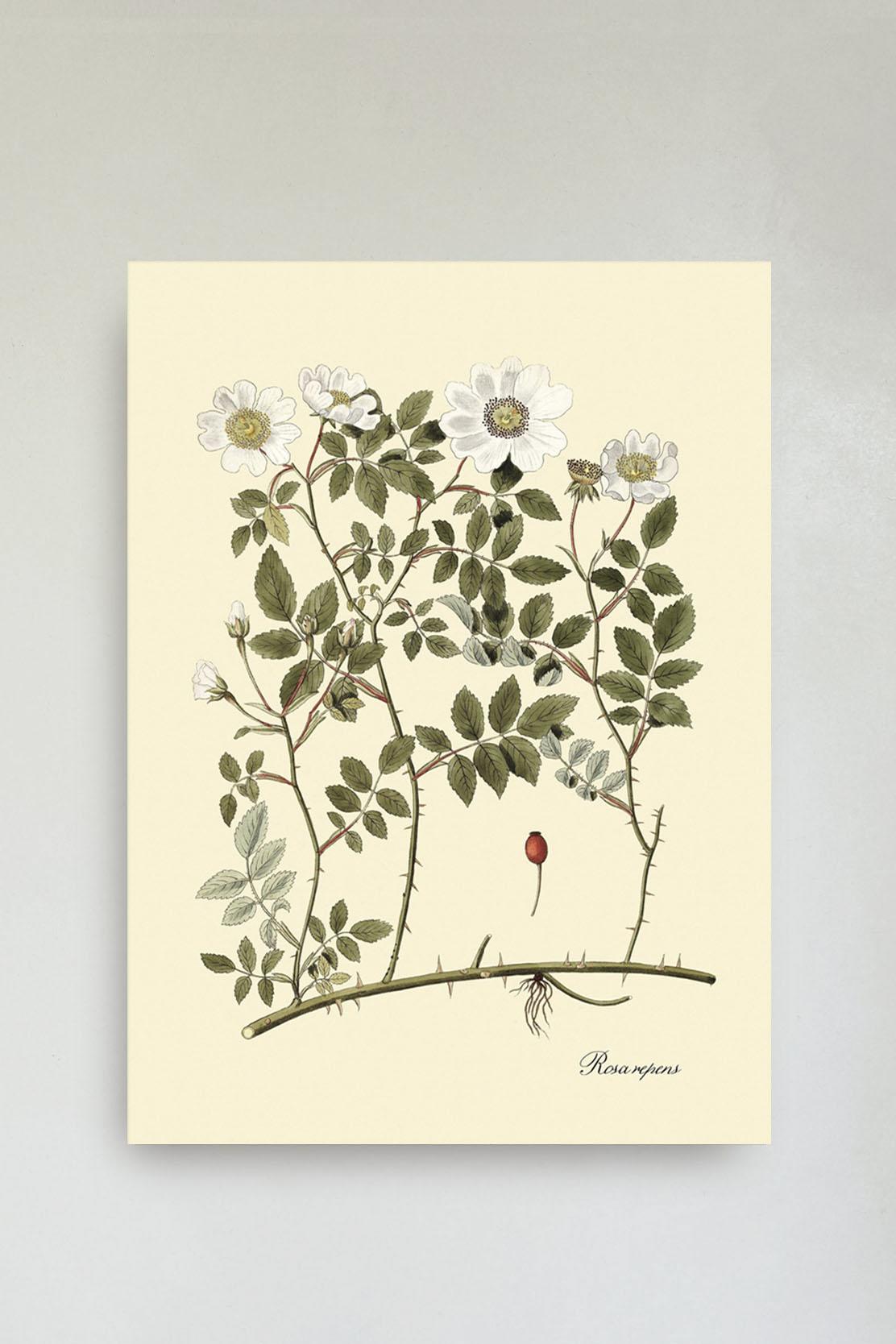Rosa Repens