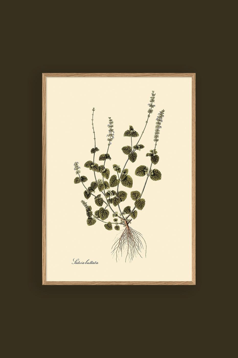 Salvia Bullata 30x40cm