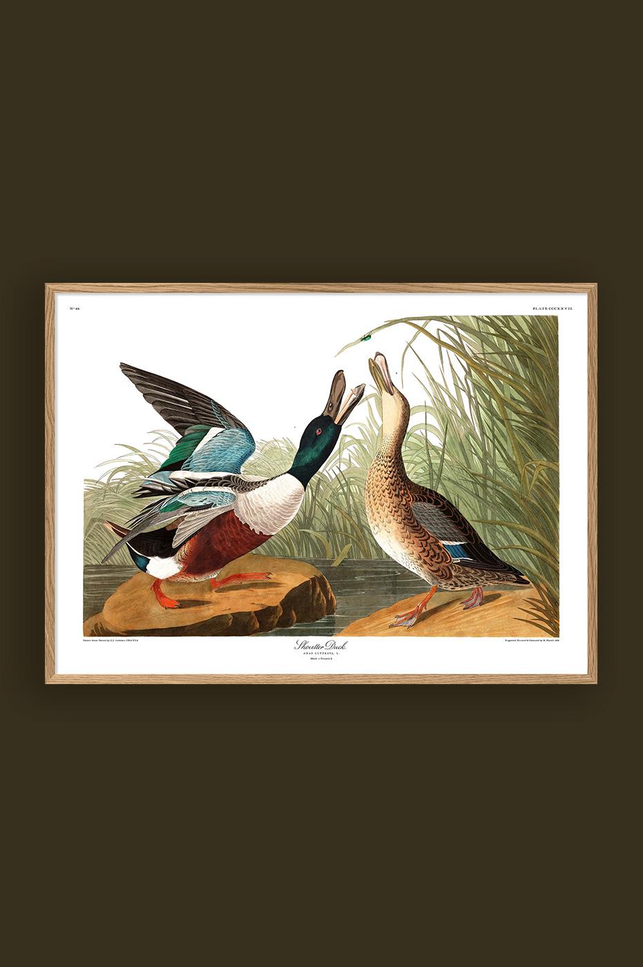 Shoveller Duck 50x70cm