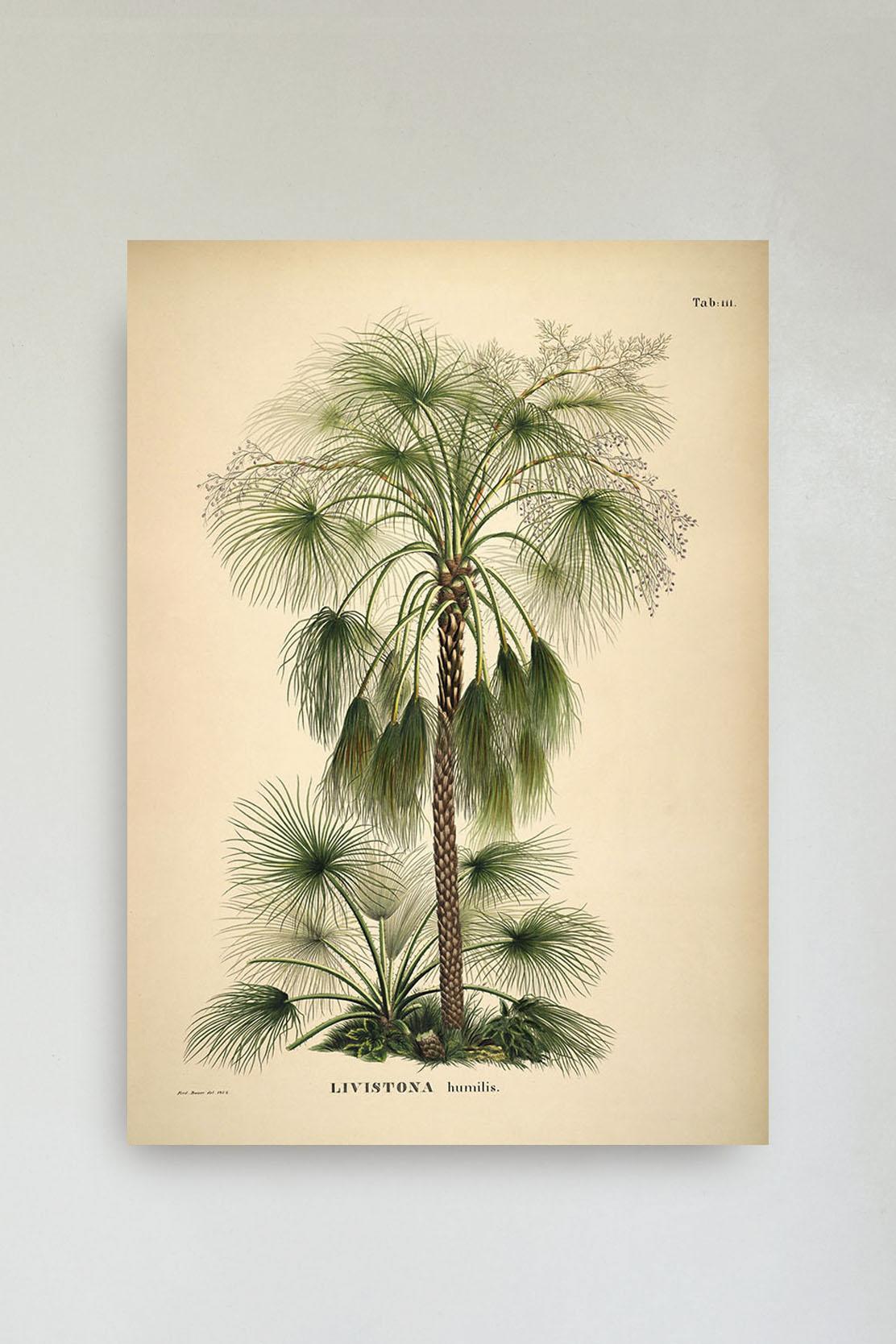 Livistona Humilis