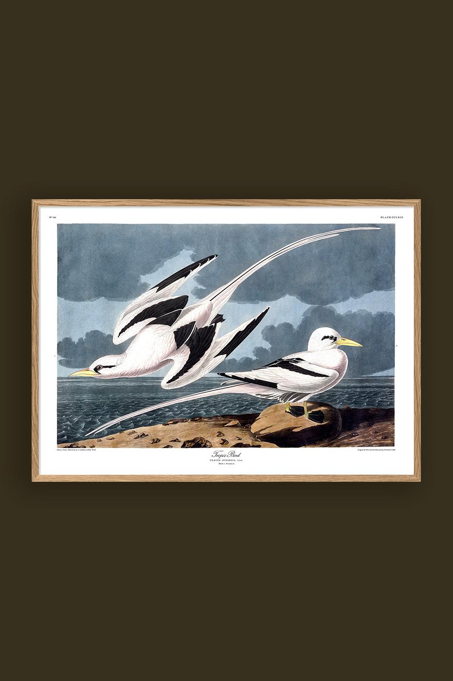 Tropic Bird 50x70cm