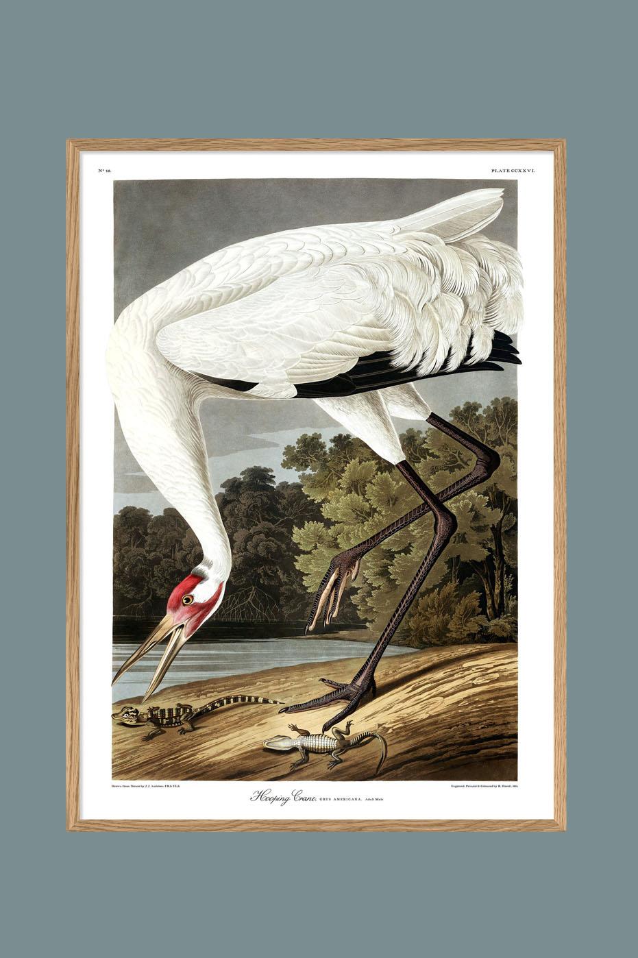 Whooping Crane 50x70cm